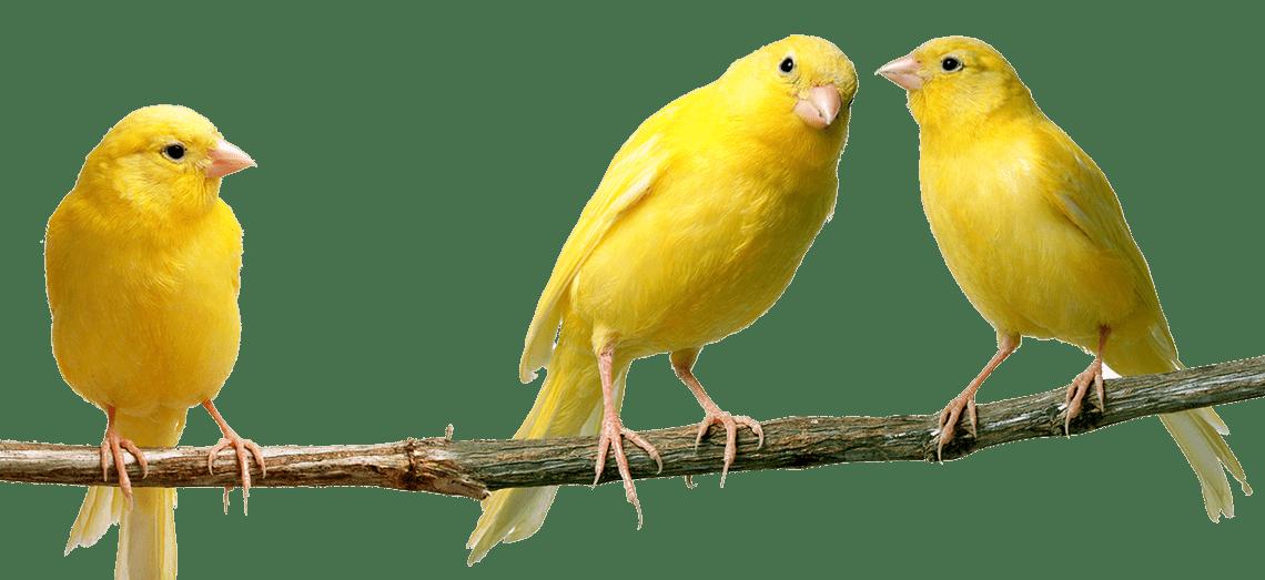 La cría del canario